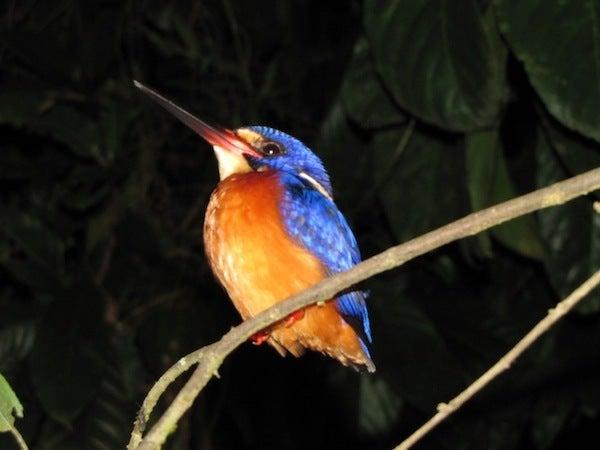 $フィリピンの野鳥紀行-ルリカワセミ