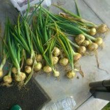 玉ねぎ収穫しーの、吊…