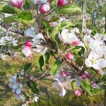 リンゴの花が咲きまし…