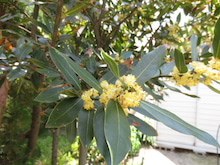 Bred Basket-月桂樹の花