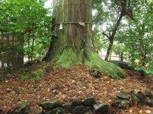 須佐神社本殿裏の大杉