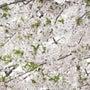 桜が見たいと言ったの…