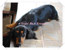 $* Angel Maje Kennel *-マリー