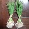 ∵ 稲の苗の画像