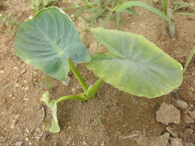 無肥料野菜の話-サトイモ
