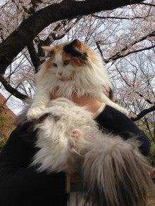 美猫ちゃんブログ-ノルウェージャン・フォレストキャット 美人ねこ