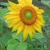 ひまわりの花のように・・・の画像