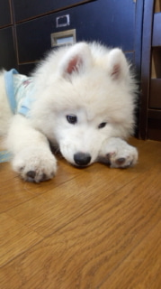 サモエド犬ラッキーのらき日記-130604_165626.jpg