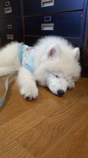サモエド犬ラッキーのらき日記-130604_165852.jpg
