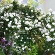 バラの庭を訪問 pa…