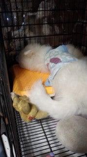 サモエド犬ラッキーのらき日記-130604_214344.jpg
