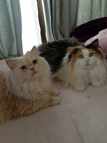 美猫ちゃんブログ-スコティッシュフォールド 画像
