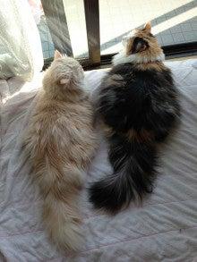 美猫ちゃんブログ-美猫 スコティッシュフォールド