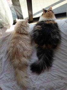 美猫ちゃんブログ-ノルウェージャンフォレストキャット 画像