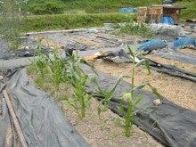 耕作放棄地を剣先スコップで畑に開拓!有機肥料を使い農薬無しで野菜を栽培する週2日の農作業記録 byウッチー-130604とうもろこしR82#1陣0312蒔0402植現状