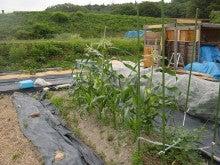 耕作放棄地を剣先スコップで畑に開拓!有機肥料を使い農薬無しで野菜を栽培する週2日の農作業記録 byウッチー-130604とうもろこしR82#2陣0319蒔き現状