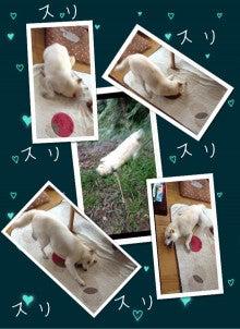 白い柴犬☆クッキーの足跡♪