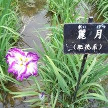 春日池公園菖蒲の花盛…