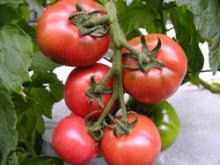 みつこさんのレシピ♪-トマト1