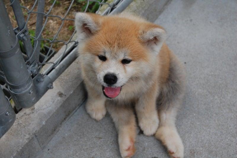 秋田犬・豆柴  薩摩日登美犬舎