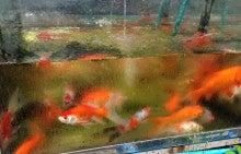 $♪癒しの金魚♪