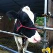 牛さん達の紹介♪