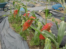 耕作放棄地を剣先スコップで畑に開拓!有機肥料を使い農薬無しで野菜を栽培する週2日の農作業記録 byウッチー-130618とうもろこしアワノメイガ対策00