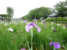 小島米店のブログ-あやめ園