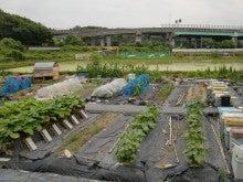 耕作放棄地を剣先スコップで畑に開拓!有機肥料を使い農薬無しで野菜を栽培する週2日の農作業記録 byウッチー-130625ウッチー式・今日の農作業の出来栄え03