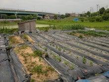 耕作放棄地を剣先スコップで畑に開拓!有機肥料を使い農薬無しで野菜を栽培する週2日の農作業記録 byウッチー-130625ウッチー式・今日の農作業の出来栄え04