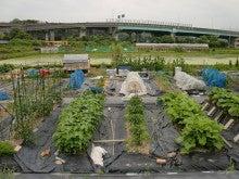 耕作放棄地を剣先スコップで畑に開拓!有機肥料を使い農薬無しで野菜を栽培する週2日の農作業記録 byウッチー-130625ウッチー式・今日の農作業の出来栄え02
