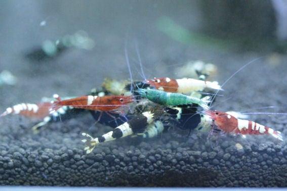 鴉蝦のシュリンプ飼育の記録。