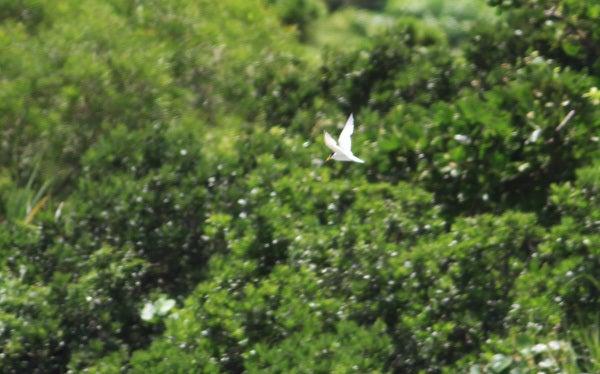 $風の竜馬の鳥見隊(とりみた~い)-コアジサシ
