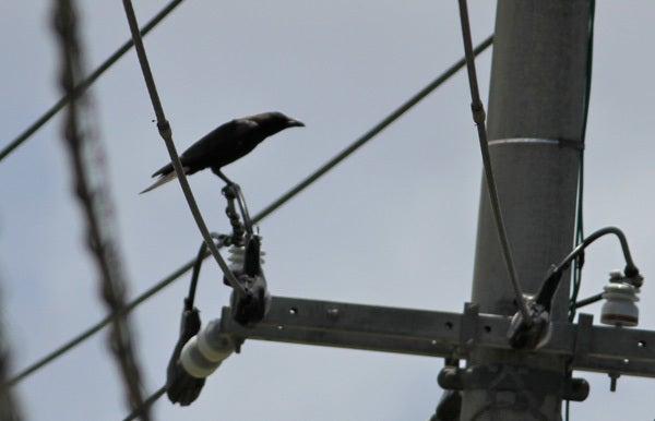 $風の竜馬の鳥見隊(とりみた~い)-リュウキュウハシブトガラス
