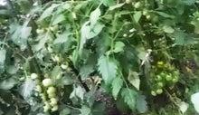 $すすきのBEATの営業雑感 -20130629ミニトマト