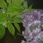 ウドとアサツキの花の…
