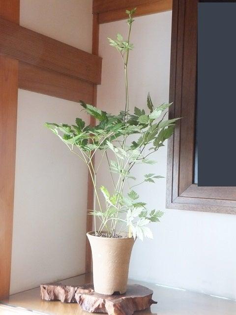 山野草・還風庵JUNのブログ