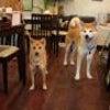 柴犬のあすかちゃんの画像