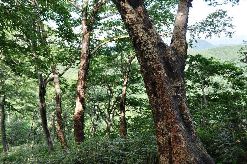 $白神山地ツアーの白神なびスタッフブログ-2013年7月中旬の白神山地「二ツ森」5