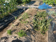 耕作放棄地を剣先スコップで畑に開拓!有機肥料を使い農薬無しで野菜を栽培する週2日の農作業記録 byウッチー-130709とうもろこし残渣を埋めて白菜用に土作り01