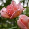 バラの育て方教室 再開ですの画像