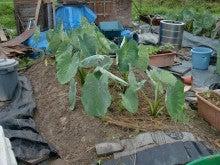 耕作放棄地を剣先スコップで畑に開拓!有機肥料を使い農薬無しで野菜を栽培する週2日の農作業記録 byウッチー-130715里芋専用畝2の土寄せ畝間施肥敷きワラ02