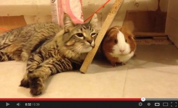 モルモットが好き過ぎてしょうがない猫たち(動画)