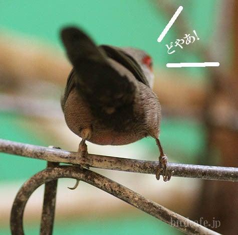 ようこそ!とりみカフェ!!~鳥カフェでの出来事や鳥写真~-カエデチョウの尾羽根♪