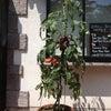 トマト観察6の画像
