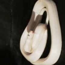 白蛇で皆さん幸せにな…