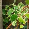アガパンサスの花と実の画像