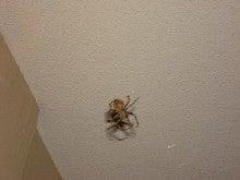 蜘蛛 でかい