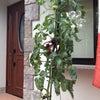 トマト観察7の画像