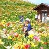 色彩と香りの洪水:箱館山ゆり園にての画像
